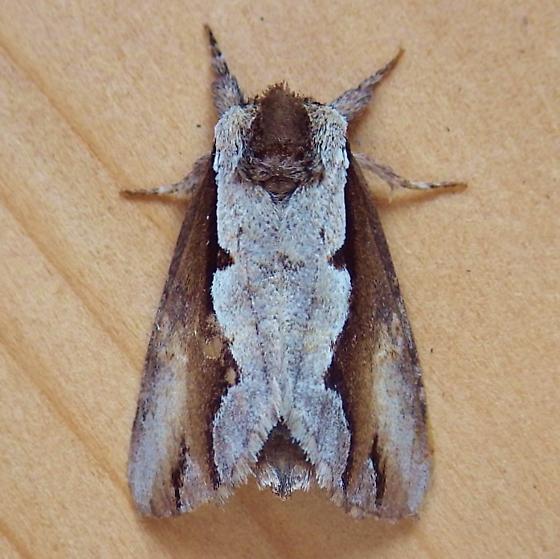 Notodontidae: Nerice bidentata - Nerice bidentata