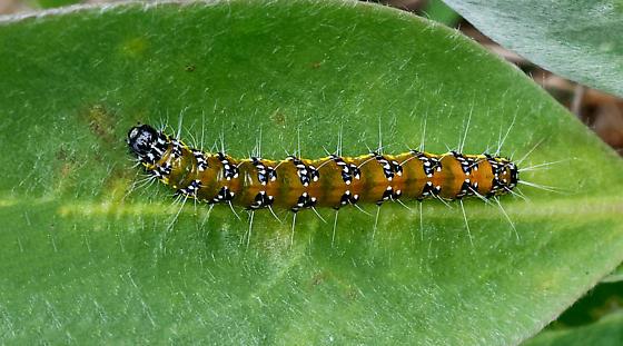 Genista Broom Moth (Uresiphita reversalis) - Uresiphita reversalis