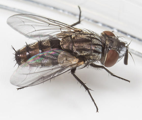 Fly - Metopia argyrocephala