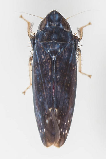 Leafhopper - Scaphytopius nigrifrons - male