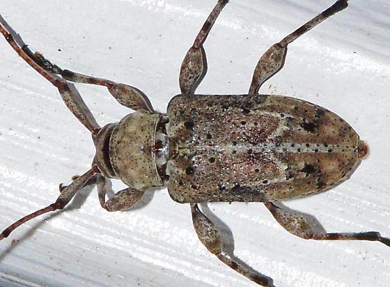 ? - Leptostylopsis planidorsus