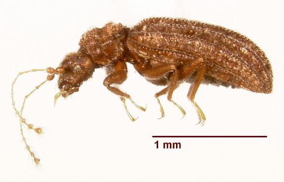 Dasycerus