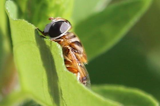 Bee Fly - Palpada vinetorum
