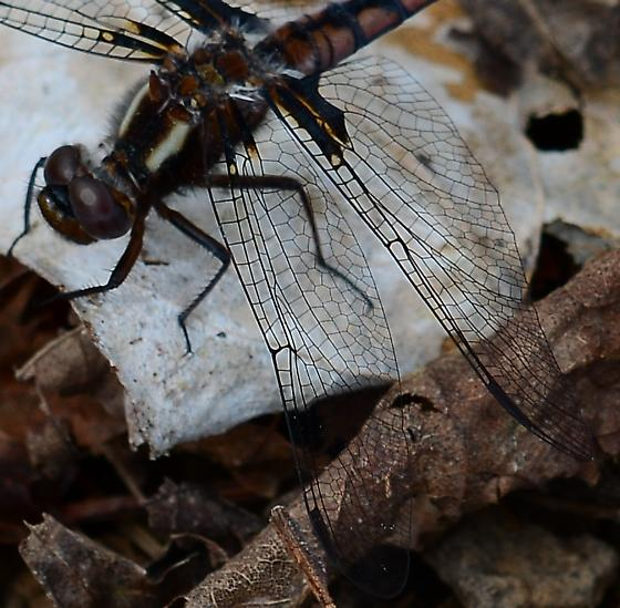 Dragonfly - Ladona deplanata - female