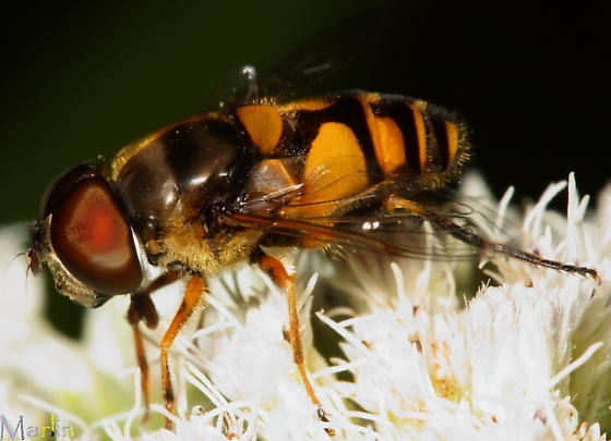 Flower Fly - Eristalis transversa - male