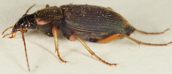 Chlaenius sp.? - Chlaenius tricolor
