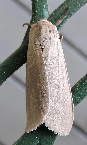 Euchaetes egle