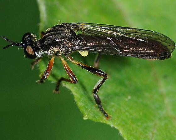 Fly - Dioctria