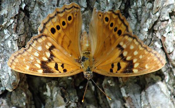 Hackberry Emperor?   - Asterocampa clyton - female