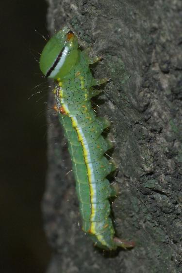 Variable Oakleaf caterpillar - Lochmaeus manteo