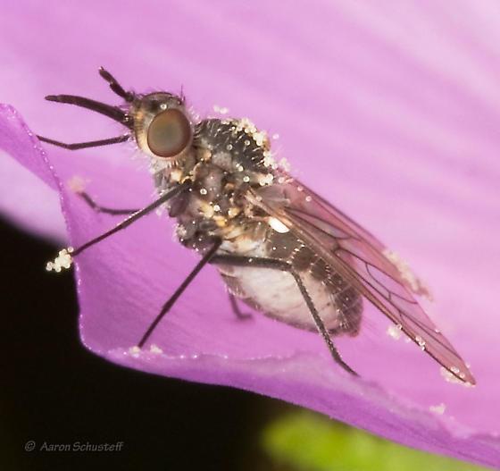 Phthiriinae - Acreophthiria - female