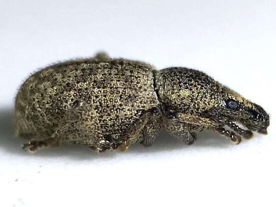 Otiorhynchus singularis