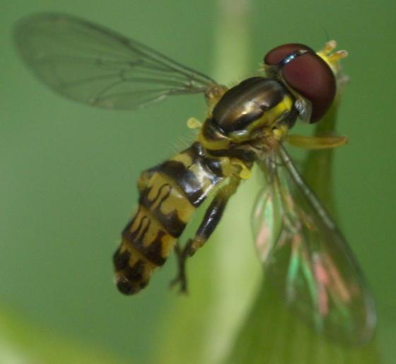 Syrphid Fly - Toxomerus geminatus