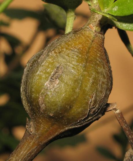 Coyote Brush stem gall, Gnorimoschema baccharisella? - Gnorimoschema baccharisella