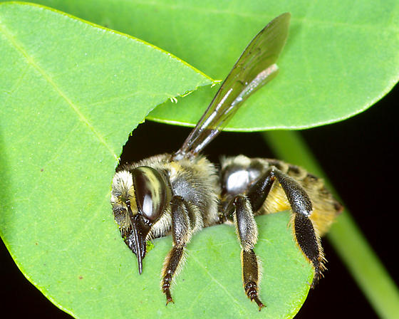 Leaf cutter at work - Megachile albitarsis - female