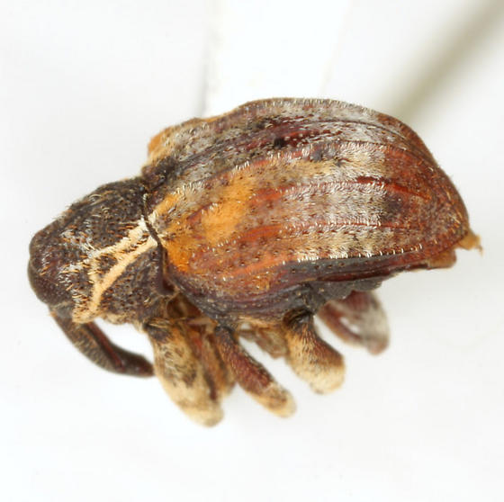 Conotrachelus anaglypticus (Say) - Conotrachelus anaglypticus