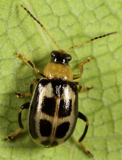 Leaf beetle - Cerotoma trifurcata