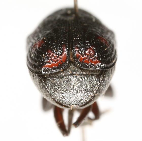 Pachybrachis hector Fall  - Pachybrachis hector
