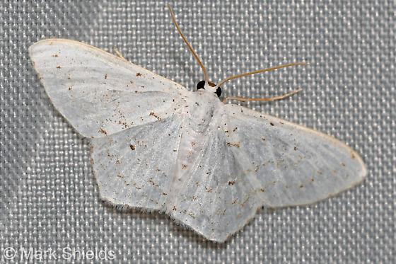 white moth - Idaea tacturata