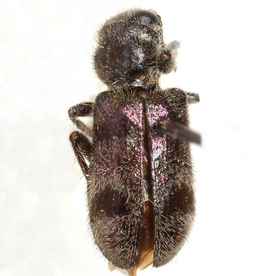 Enoclerus viduus (Klug) - Enoclerus viduus