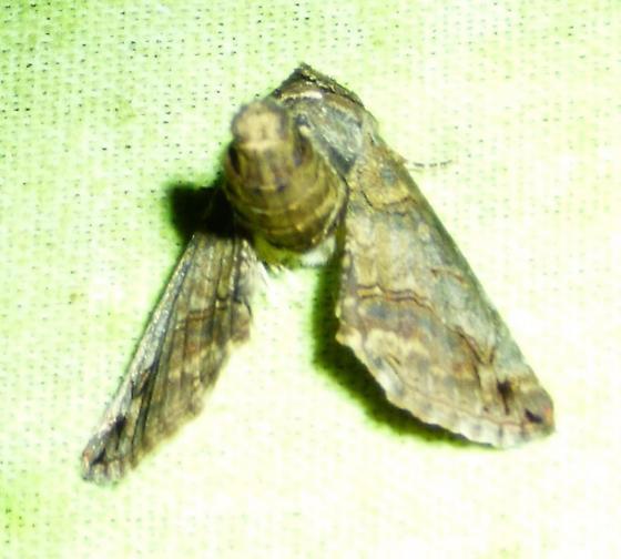 Paectes abrostoloides Large Paectes Moth - Paectes abrostoloides