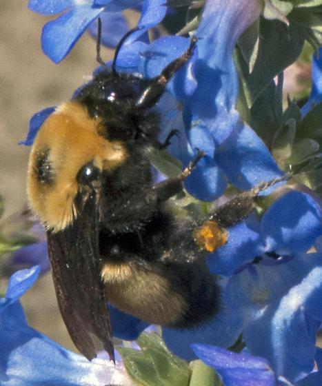 Bumble Bee in Eastern Washington - Bombus nevadensis