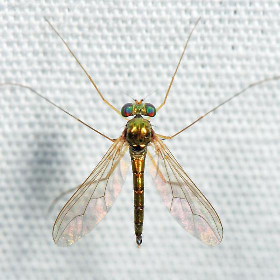 Longlegged Fly - Sciapus tener - male