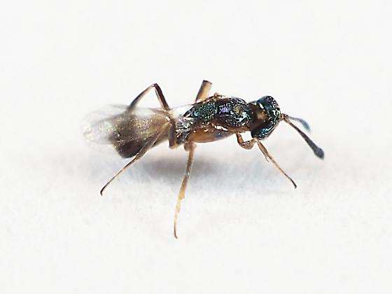 Chalcidoid wasp from Io Moth eggs