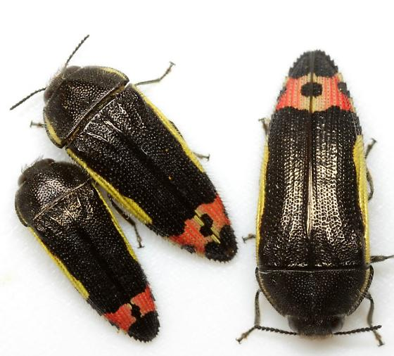 Acmaeodera flavomarginata (Gray) - Acmaeodera flavomarginata