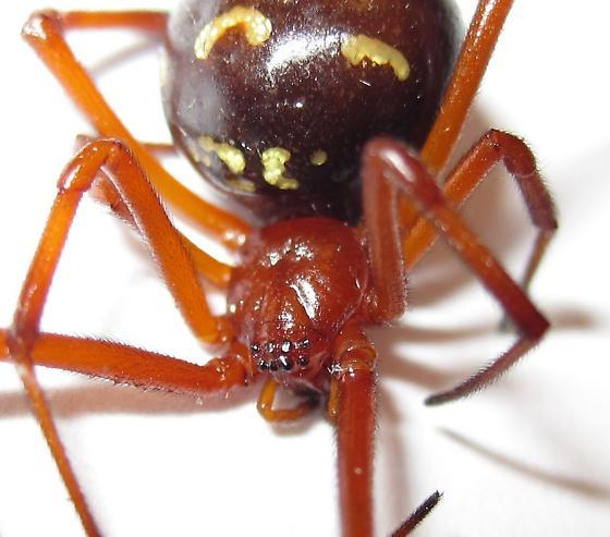 Adult Female - Latrodectus bishopi - female