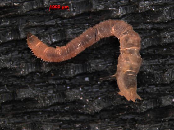 Vermileonidae  - Vermileo