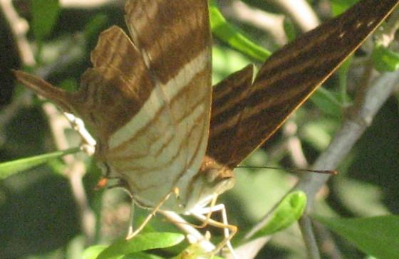 Bentsen Many-banded Daggerwing - Marpesia chiron