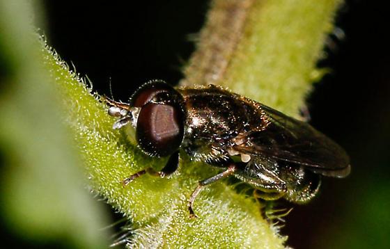 Mystery Fly - Eumerus