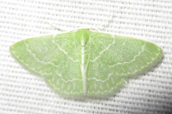 Synchlora aerata - Wavy-lined Emerald - Synchlora aerata - male