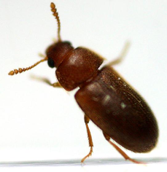 Hairy Fungus Beetle  - Typhaea stercorea