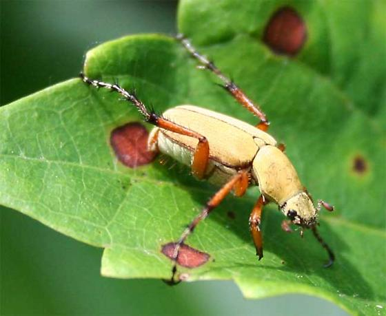 Rose Chafer - Macrodactylus subspinosus