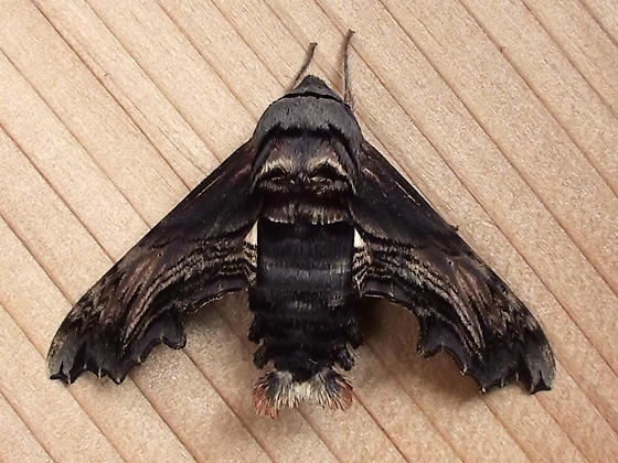 Sphingidae: Sphecodina abbottii - Sphecodina abbottii