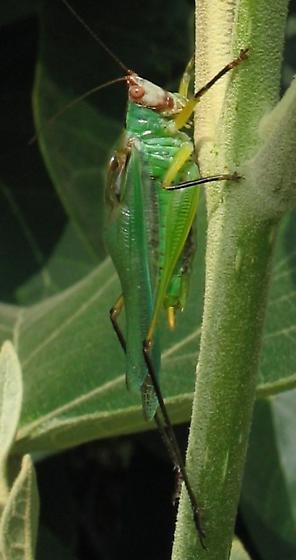 Meadow katydid - Orchelimum nigripes - male
