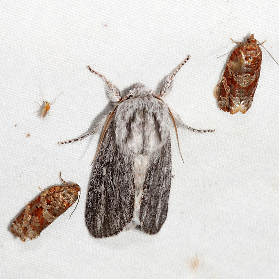 Pointed Dagger Moth - Acronicta lanceolaria