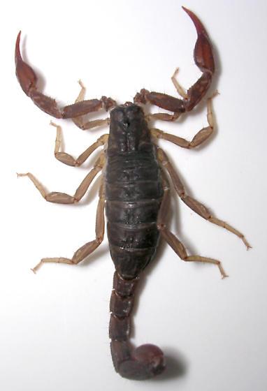 Pseudouroctonus reddelli - female