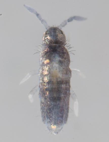 Springtail - Lepidocyrtus cinereus