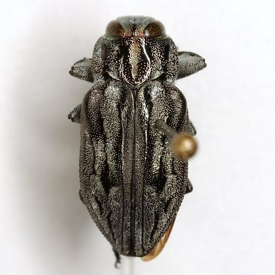 Chrysobothris quadrilineata LeConte - Chrysobothris quadrilineata