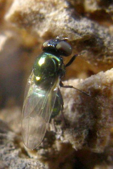 Small metallic-green Fly with black face and pale tarsi on Manroot - Lamprolonchaea - female