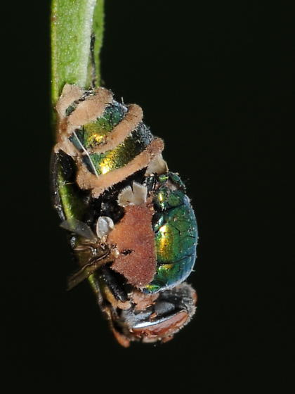 Another dead blow fly - Lucilia