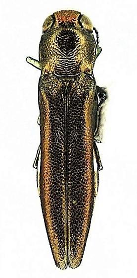 Agrilus oblongus Fisher - Agrilus oblongus - female