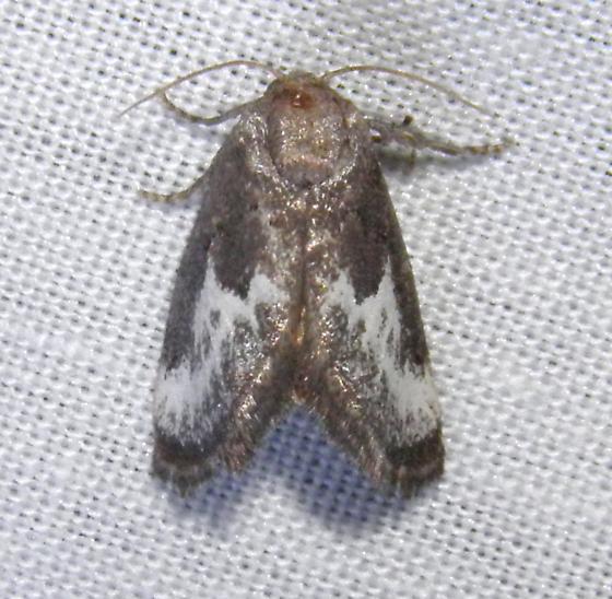 Moth - Cryptophobetron oropeso