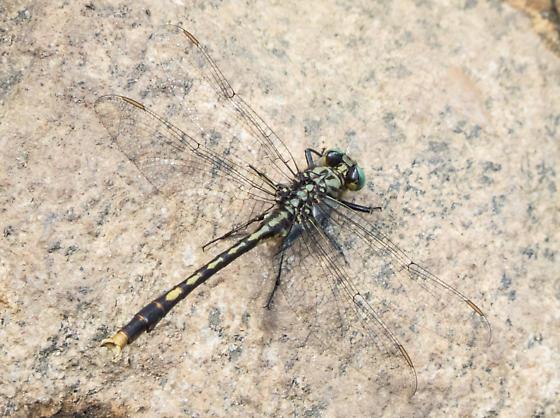 Dragonfly - Arigomphus villosipes
