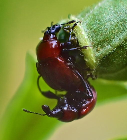 Mating Leafrolling Weevils - Synolabus nigripes - male - female