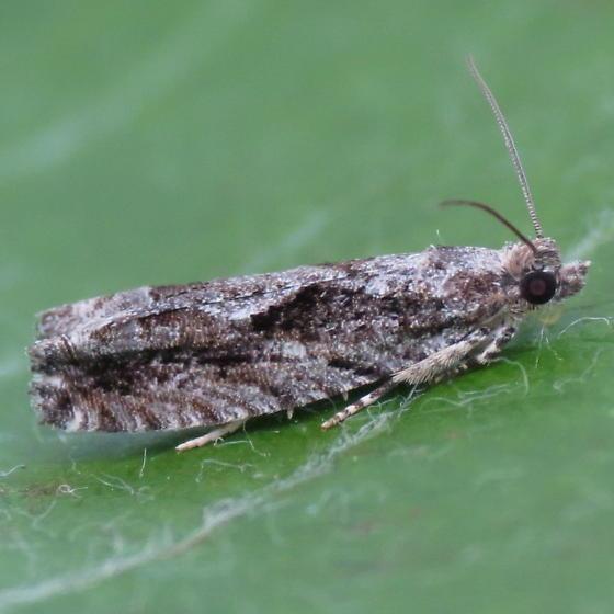 A Tortricid moth - Catastega timidella