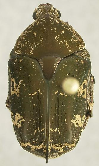 Protaetia fusca (Herbst) - Protaetia fusca